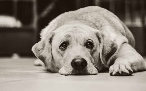 Why do Dogs Tuck their Tails?