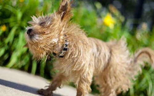 Best Dog Food for Maltipoos To Grow