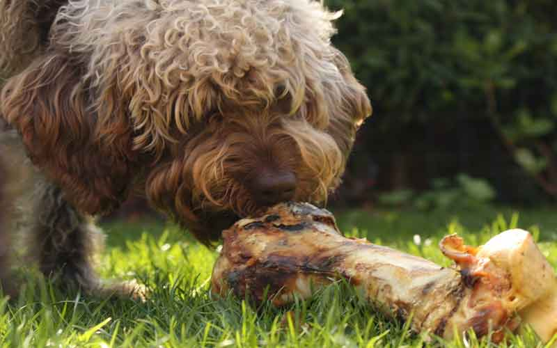 best dog foods for your MALTIPOO
