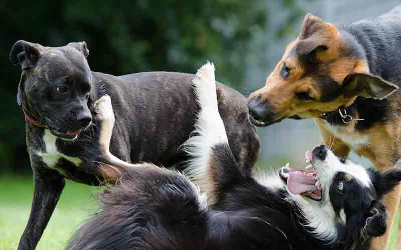 Dogs, Border Collies get along with