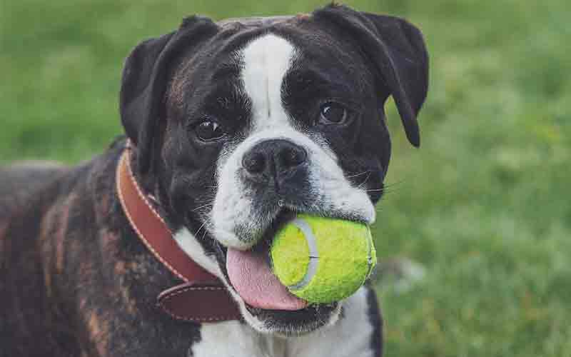 Why Do Dogs Love Balls?